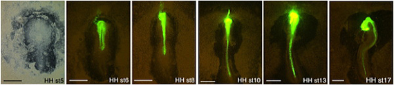 GFP expression becomes detectable by HH6