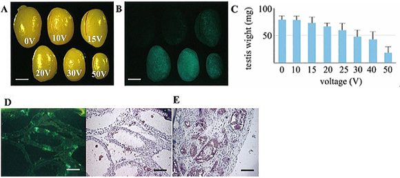 Testis Electroporated Transgene-Rescued Spermatogenesis in Infertile Mutant Mice with a Sertoli Cell Defect