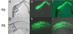 In vivo electroporated rat retinae harvested at various developmental stages.