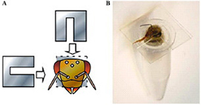 In vivo gene transfer into the adult honeybee brain by using electroporation