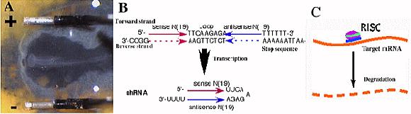 Knock-down by transfection of shRNA expression vector by in ovo electroporation