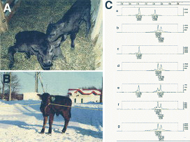 Fig. 1. Photographs of calves obtained after nuclear transfer.