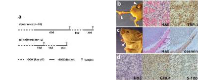 Fig. 3. Cancer phenotype in chimeric mice.